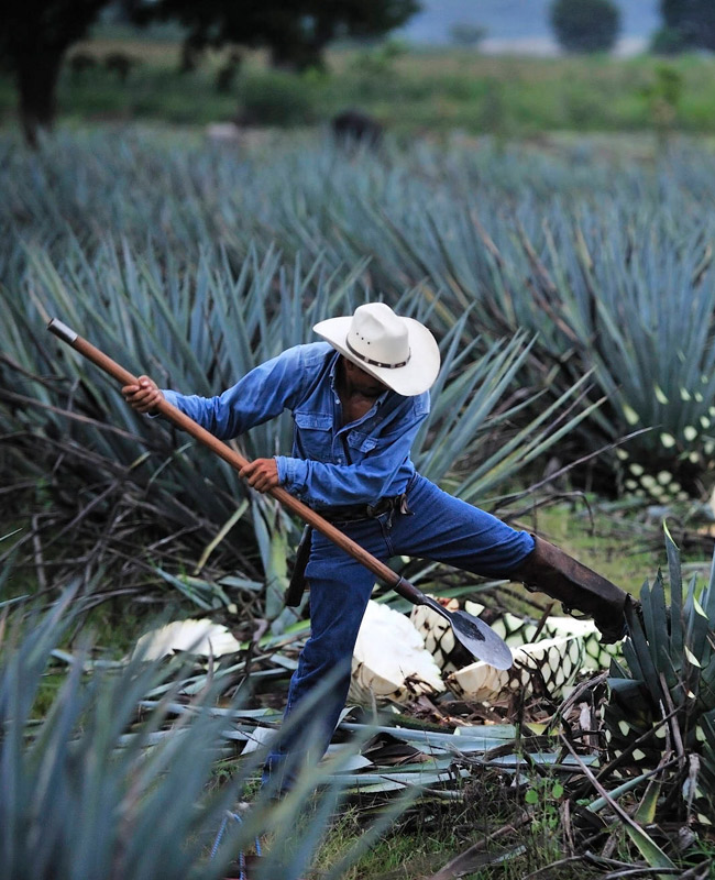 https://tequila1921.com/wp-content/uploads/2019/12/1921_tequila_agave.jpg